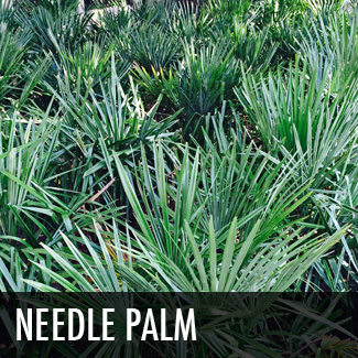 needle-palm