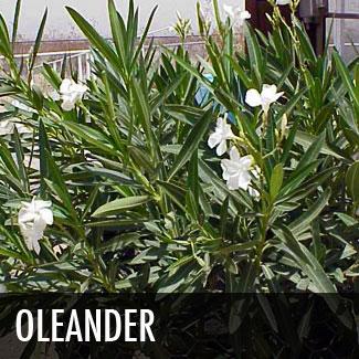 oleander-shrub
