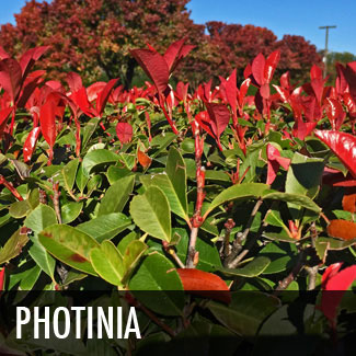photinia-red-tip-photinia