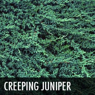 creepingjuniper.jpg