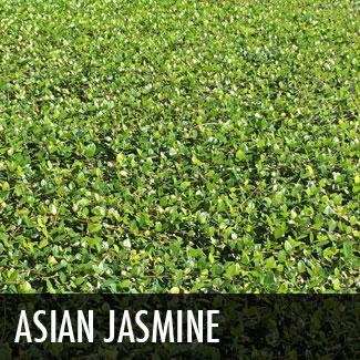 asian-jasmine.jpg
