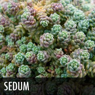 sedum.jpg