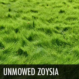 unmowedzoysia.jpg