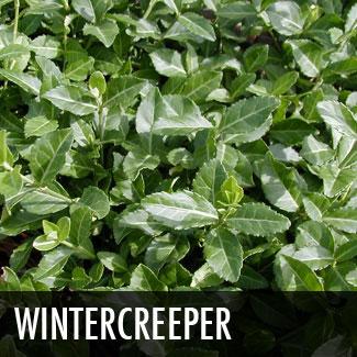 wintercreeper.jpg