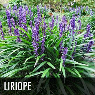 liriope.jpg