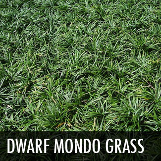 dwarfmondograss.jpg