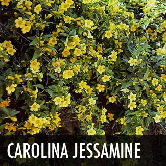 carolina jessamine vine