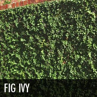 fig ivy vine