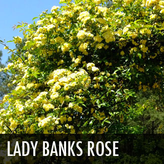 lady banks rose