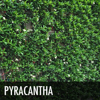 pyracantha vine