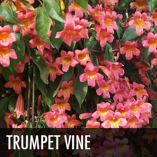 trumpet vine blooms