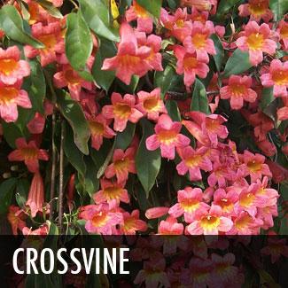 crossvine vine