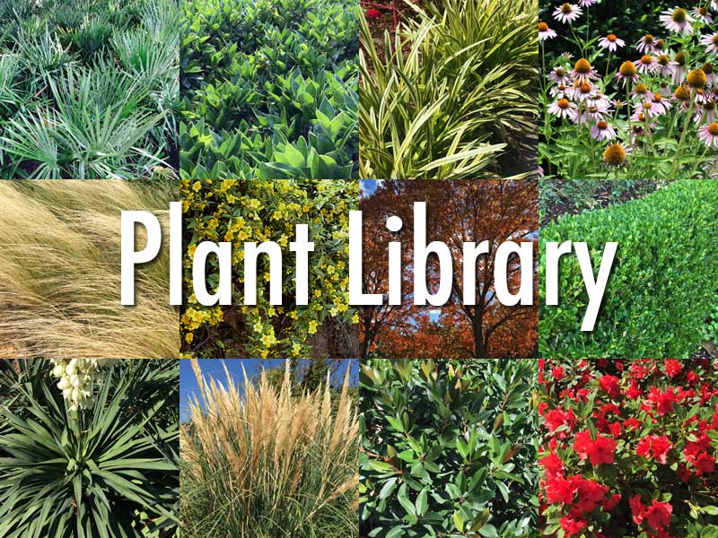 Plants for dallas your source for the best landscape for Great small trees for landscaping