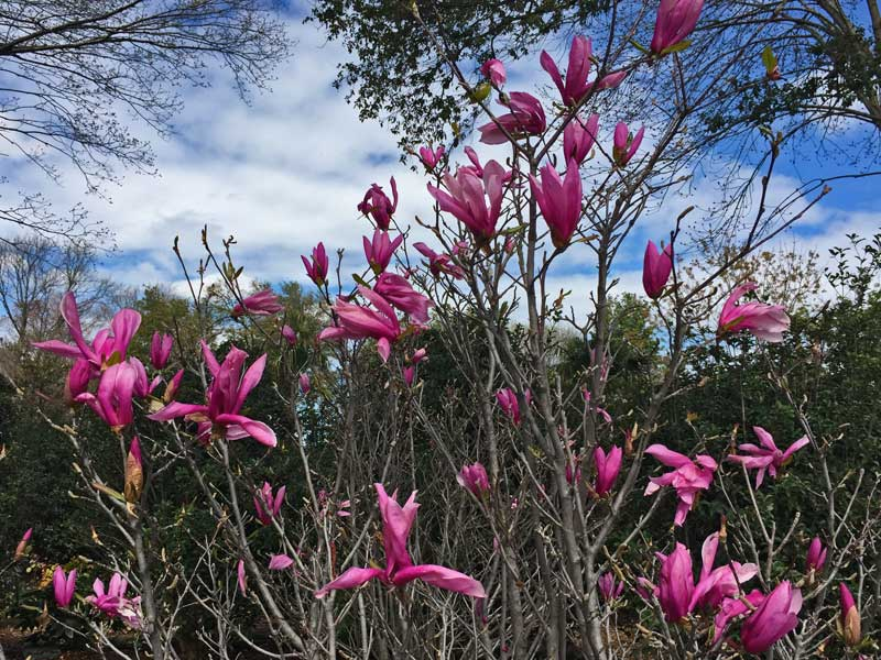 Magnolia x soulangeana is a smaller scale Magnolia tree and has pink blooms in the spring.