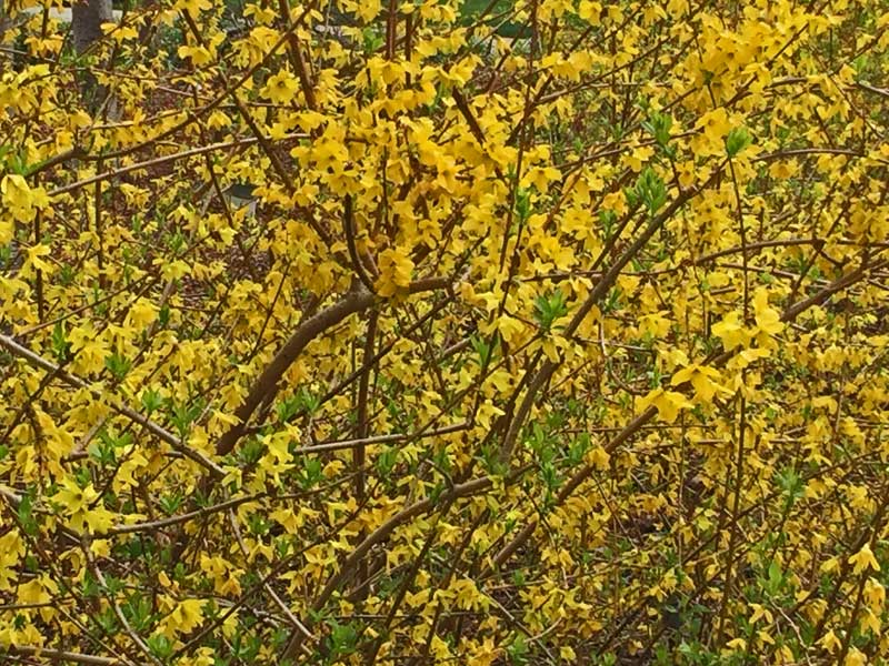 Forsythia is one of the earlier blooming shrubs but packs a bright punch of yellow color.