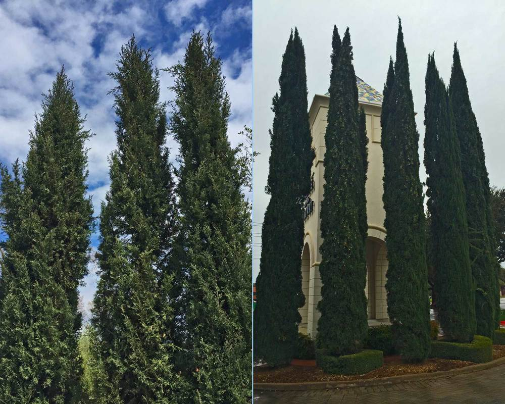 italian cypress trees (cupressus sempervirens)