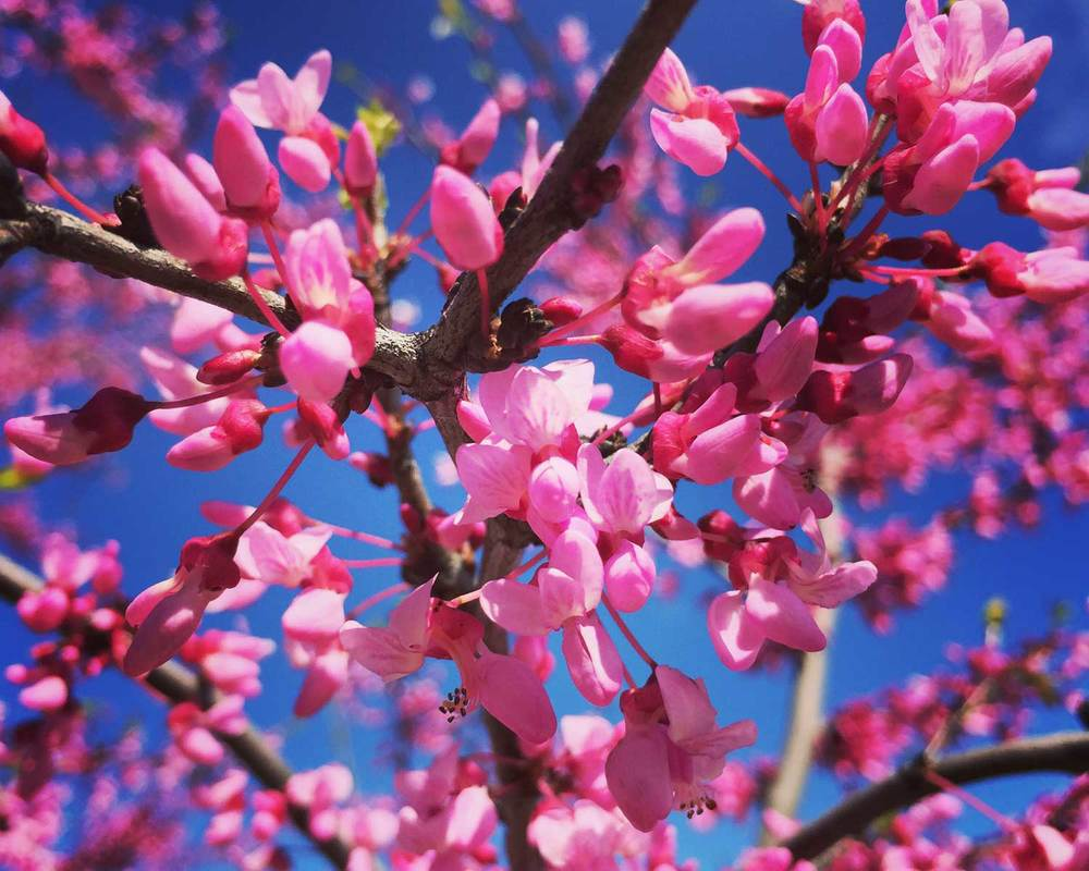redbud-tree-spring-buds.jpg