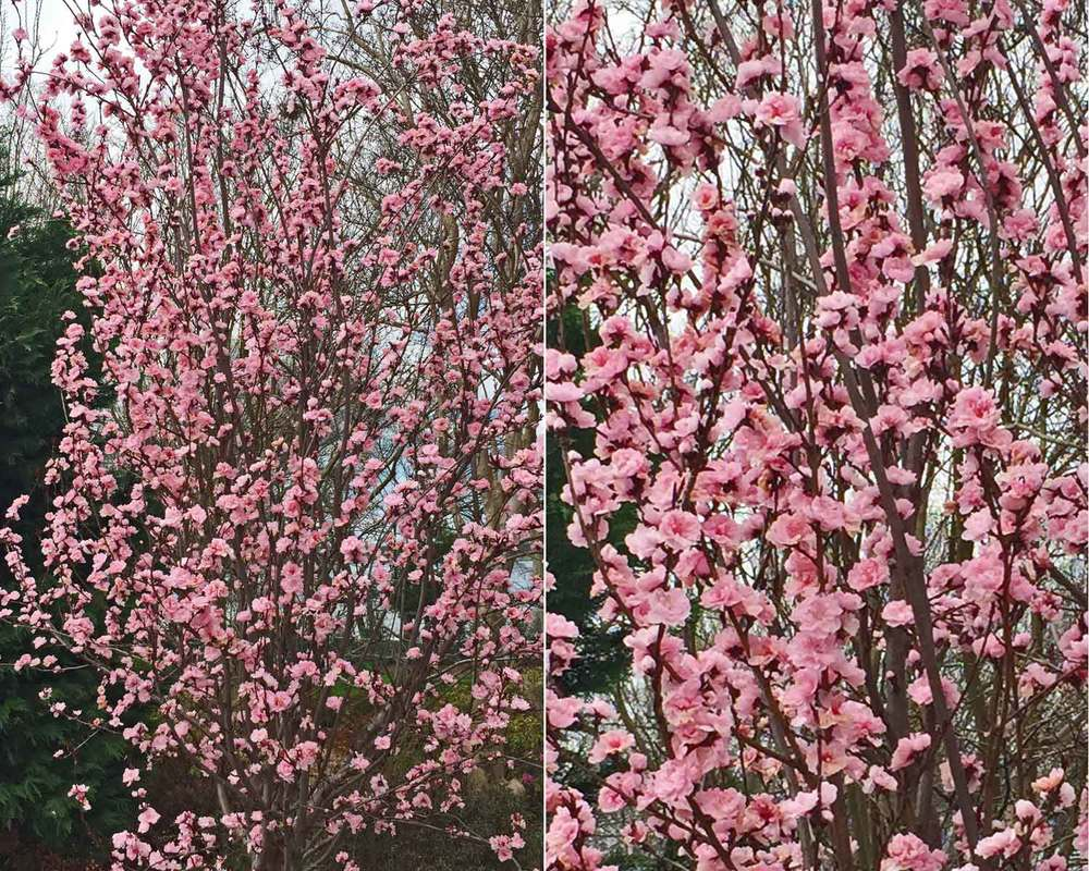 purple leaf plum tree spring blooms