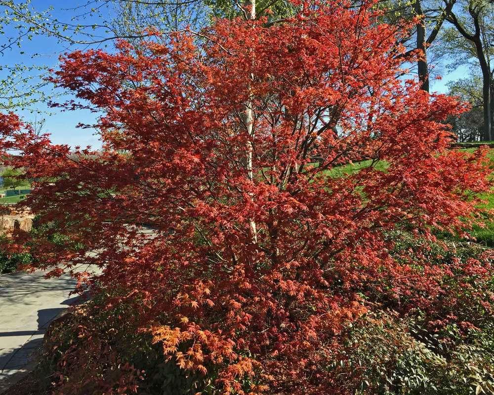 japanese-maple-tree-1.jpg