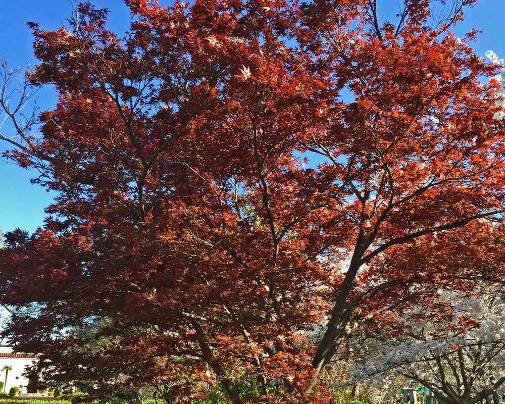 japanese maple tree 'bloodgood'