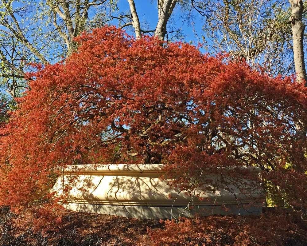 Japanese Maple Tree 3 Jpg