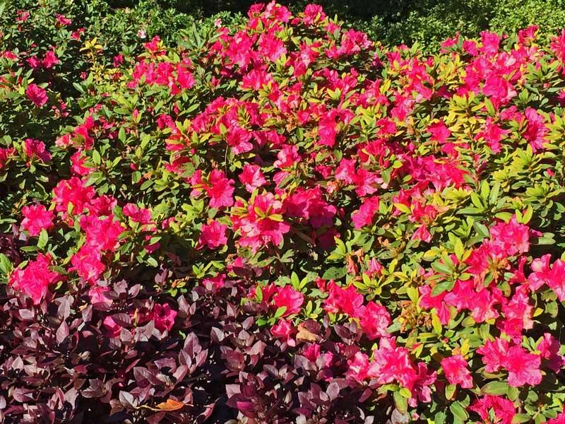 Encore Azalea Autumn Cheer'(Rhododendron x hybrida)