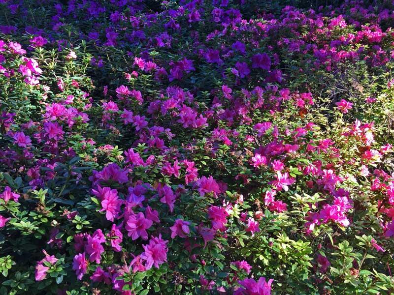 Encore Azaleas ' Autumn Empress' (Rhododendron x hybrida)