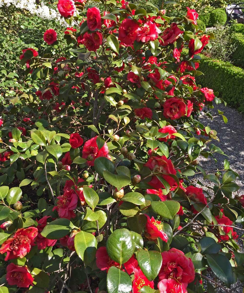 Camellia jaonica 'Professor Sargeant'