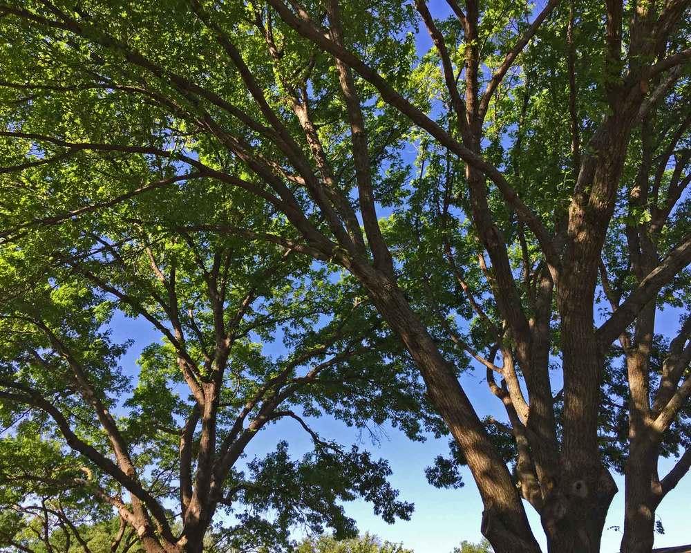 red oak tree shade