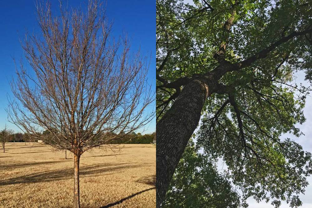 deciduous vs evergreen tree