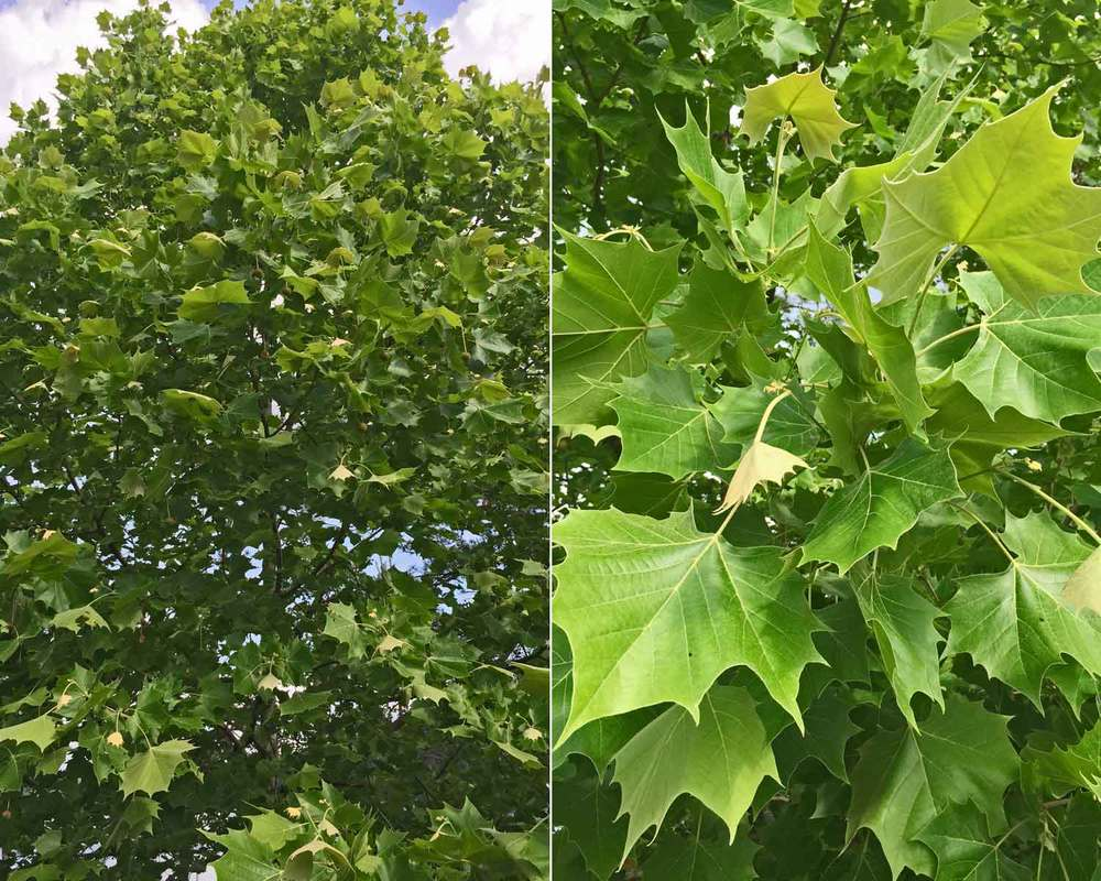 sycamore tree and leaves