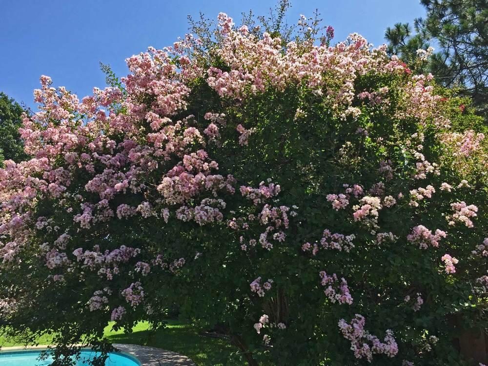 crape myrtle tree 'biloxi'