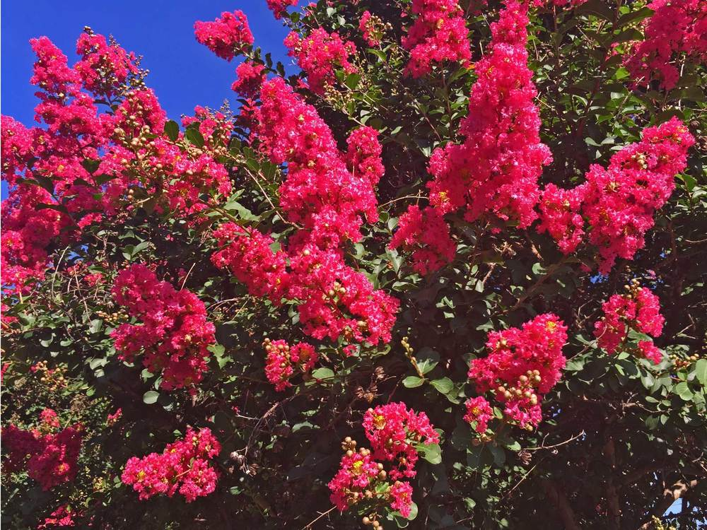 crape myrtle tree 'dallas red'