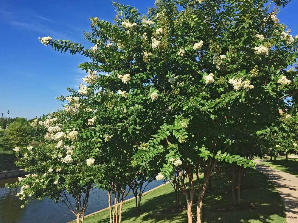 crape myrtle tree'natchez'