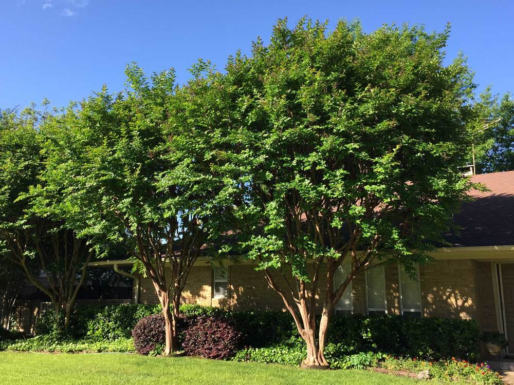 crape myrtle tree early spring befor blooms