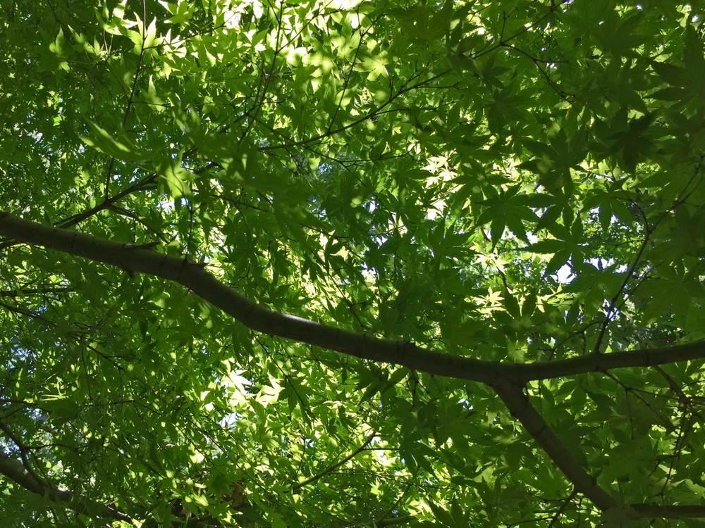 japanese maple summer leaves.jpg