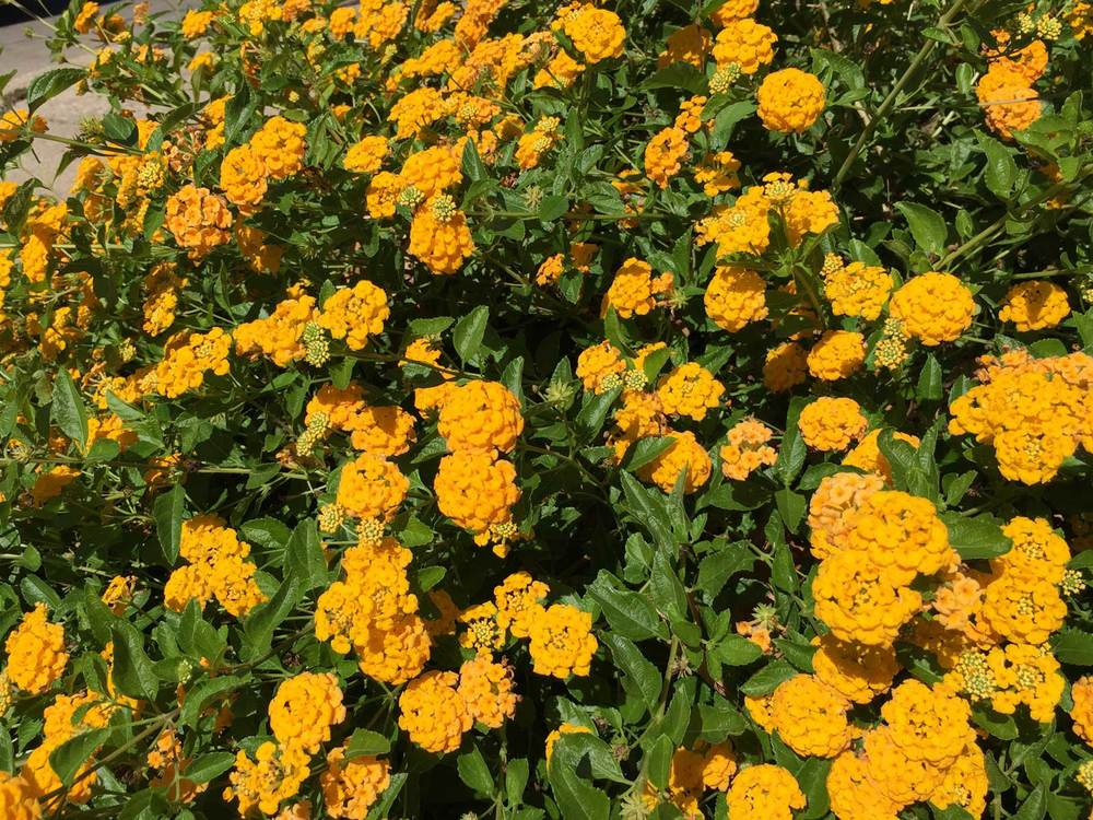 A summer and heat loving perennial, Lantana 'New Gold'
