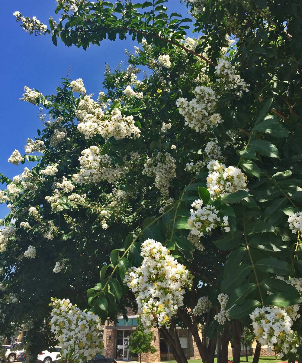 'Natchez' is a very popular variety with dense, white bloom clusters.