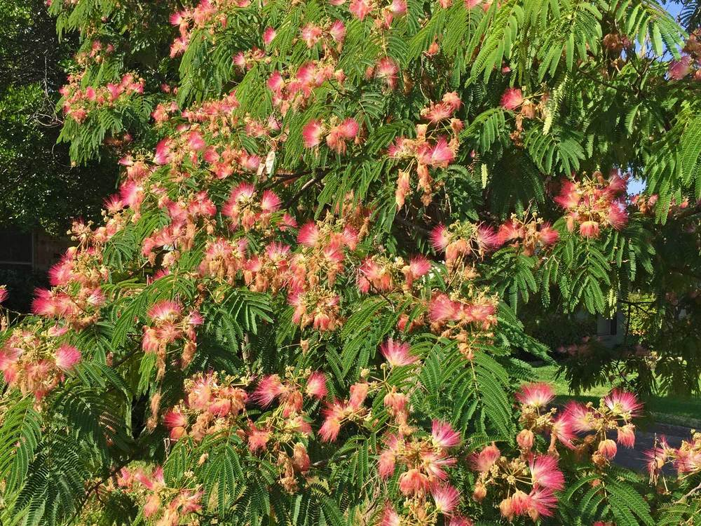 mimosa tree blooms
