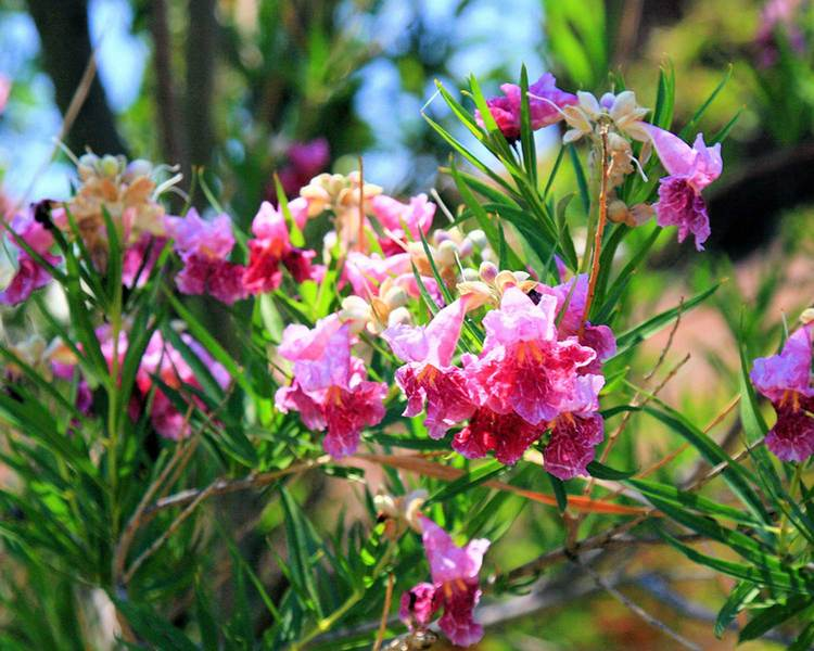 Plants for dallas your source for the best landscape plant desert willow tree mightylinksfo Images