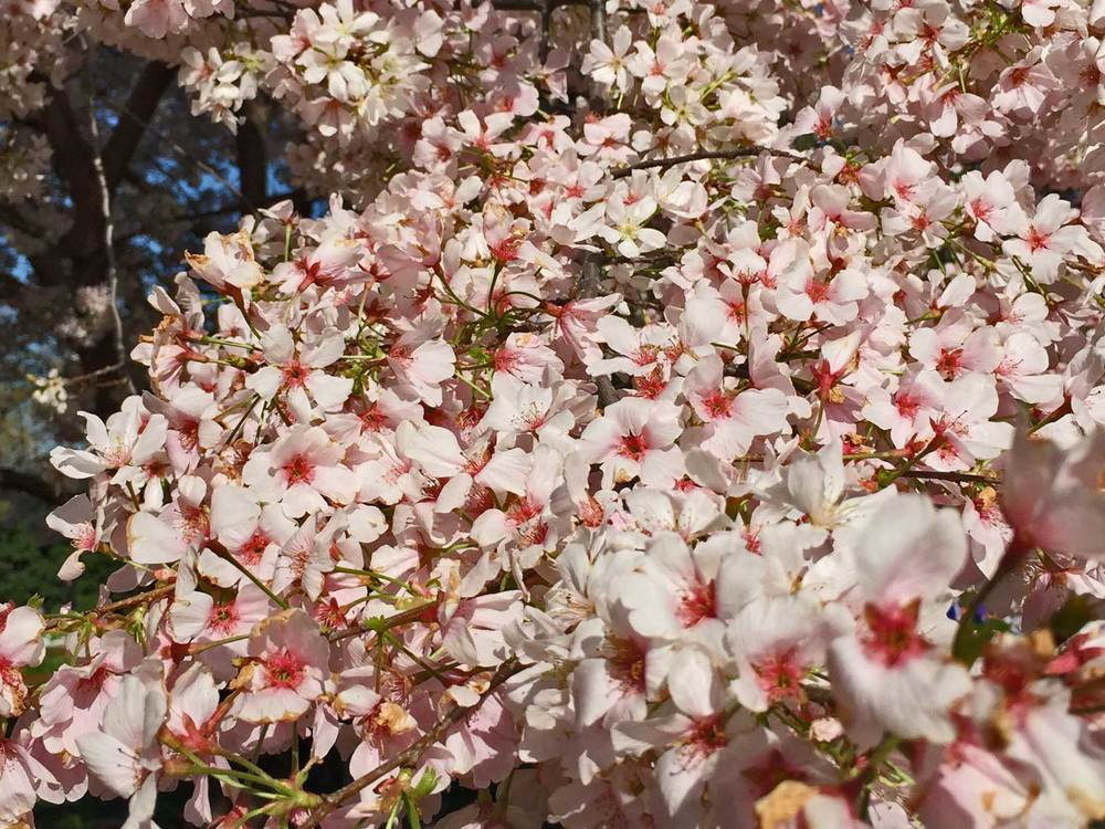 cherry tree 'yoshino'