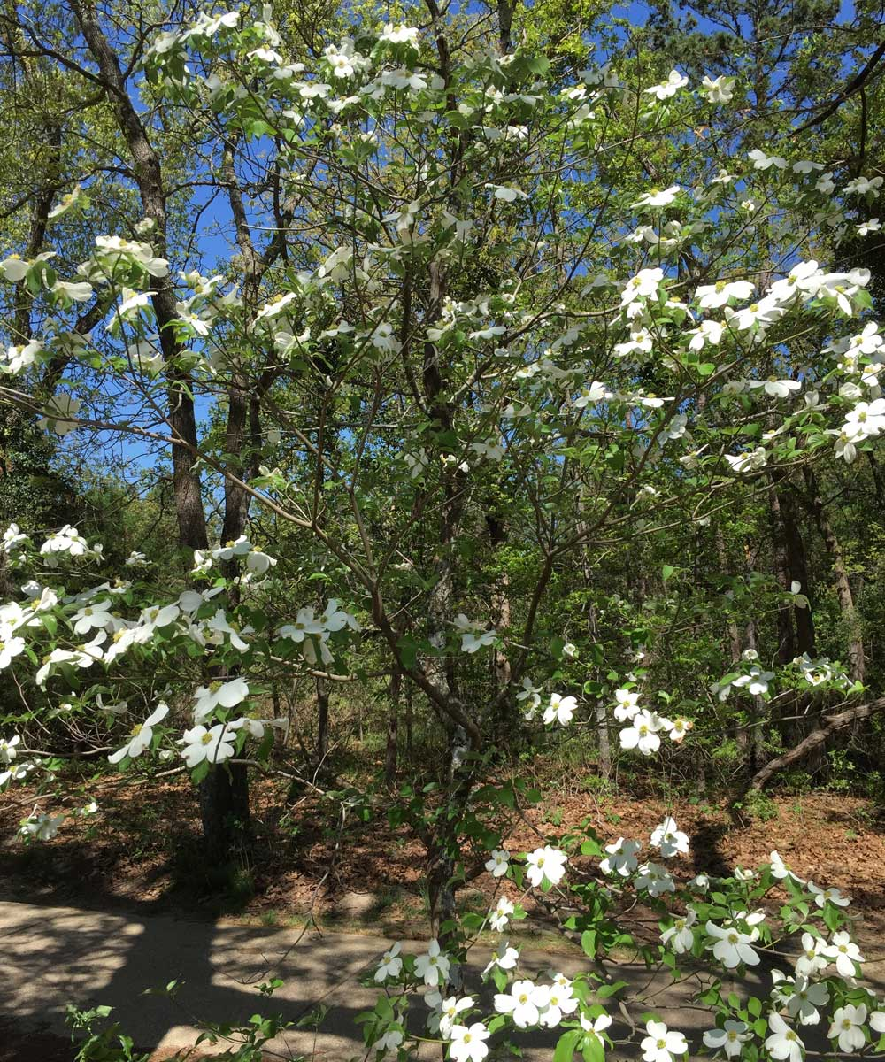 dogwood tree (cornus florida)