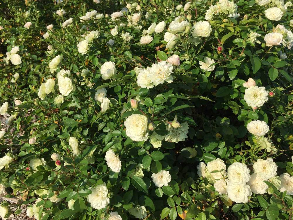 Drift Rose 'Popcorn' is a low growing rose form.