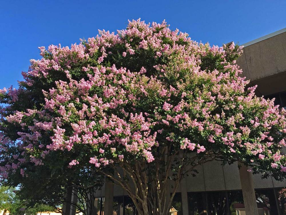 Crape myrtle 'Muskogee' is a wonderfully subtle and elegant lavender color.
