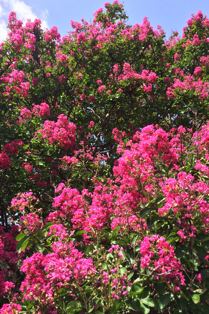 Probably the most used around town is the Crape myrtle variety 'Dallas Red'