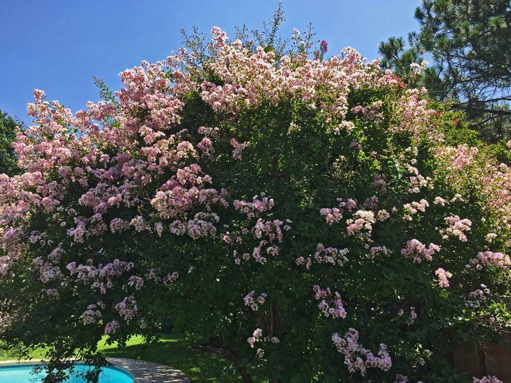 Crape Myrtle 'Potomac' has a soft, light pink color.