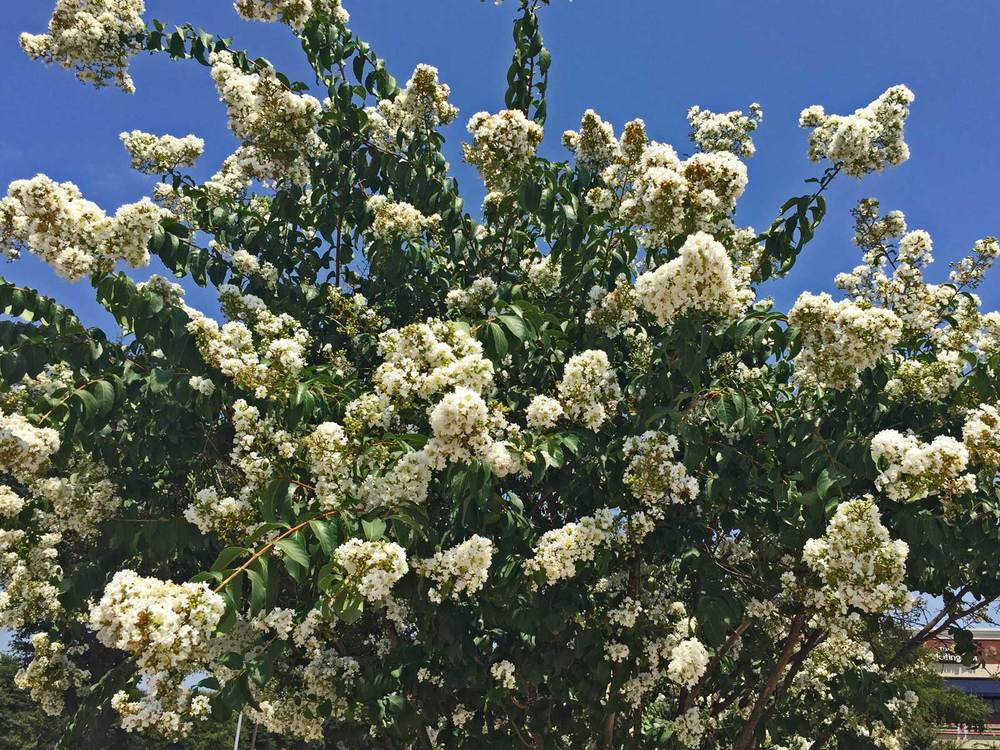 Another popular variety is the 'Natchez' Crape Myrtle with its elongated branching and white blooms.