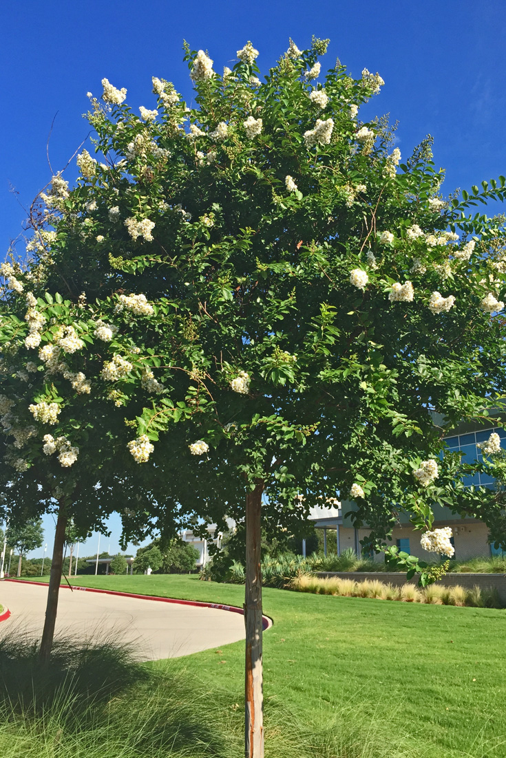 A 'Natchez' Crape Myrtle in a single trunk or standard form.