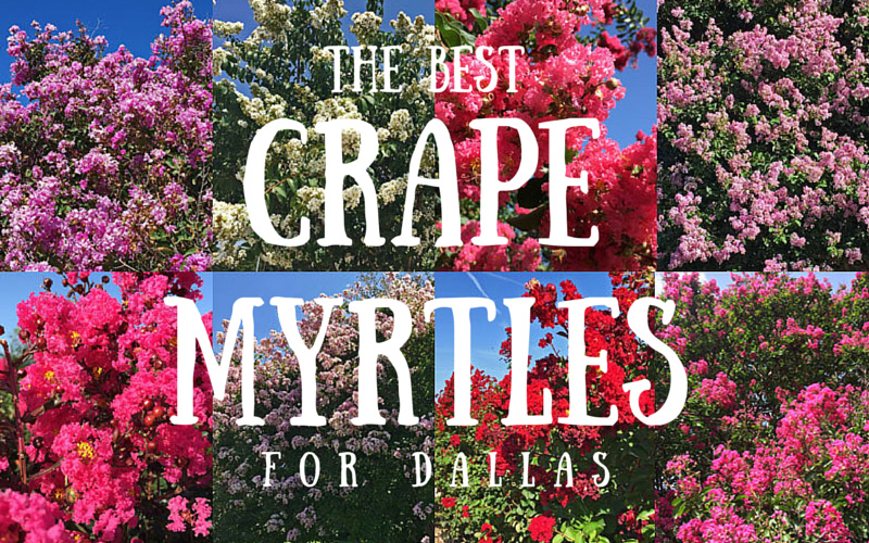 best crape myrtles for dallas