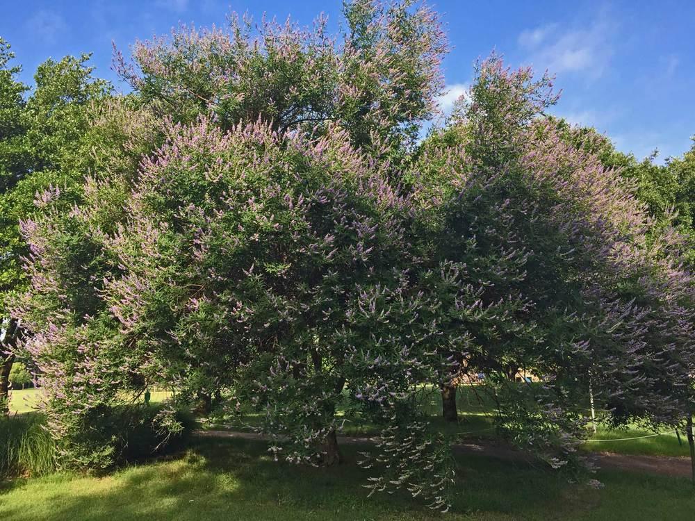 vitex tree (chaste tree)